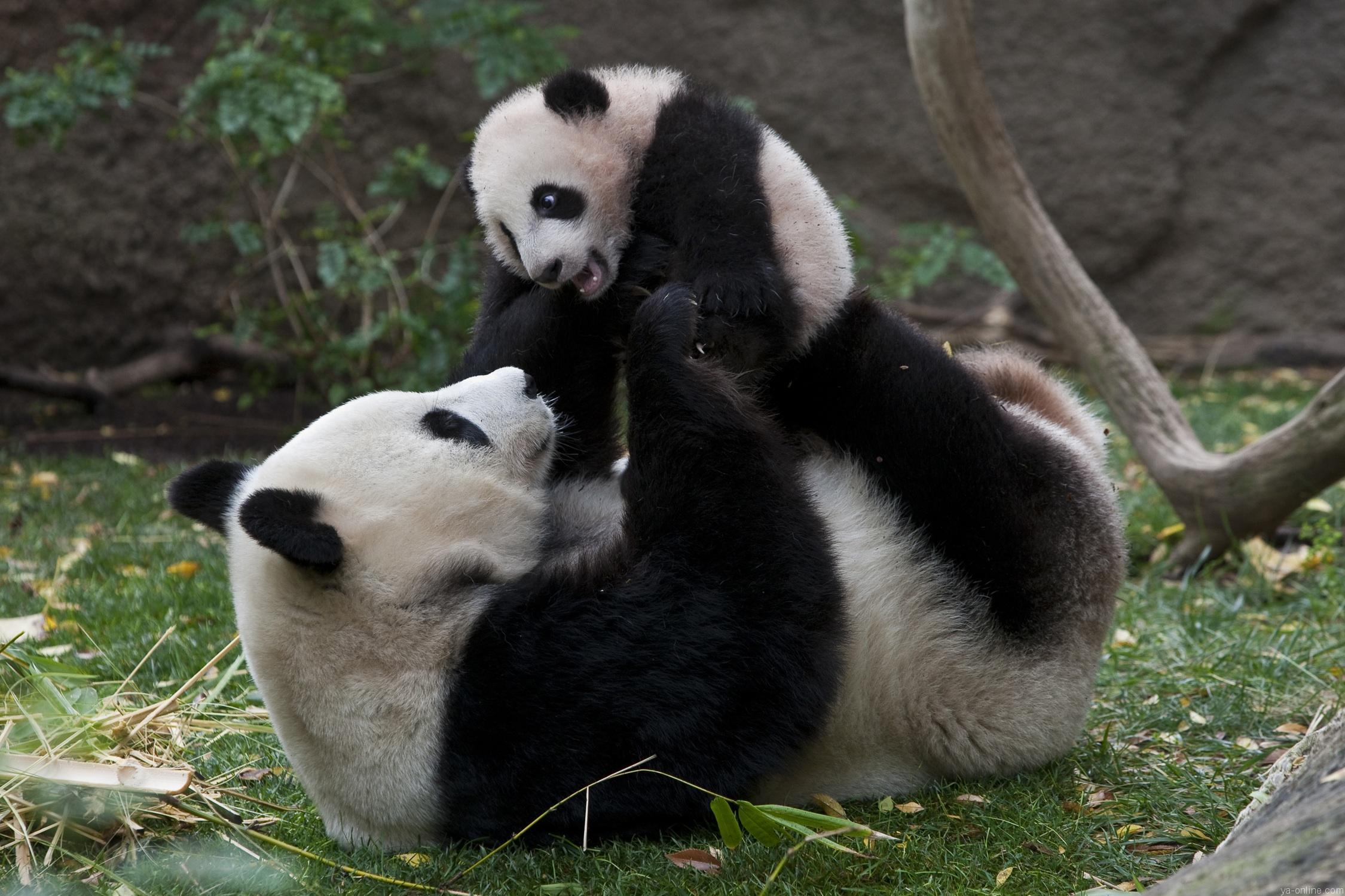 Giant panda mother and cub, Bai Yun and Yun Zi