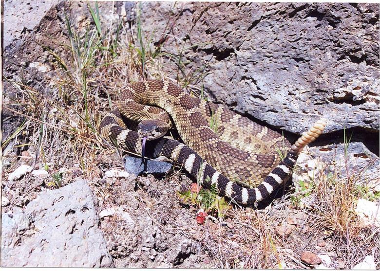 Гремучие змеи в Калифорнии