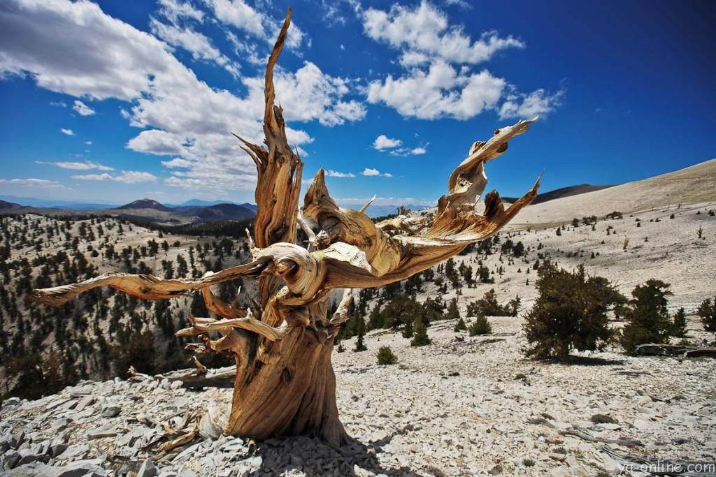 Ancient-Bristlecone-Pine-Forest-California-USA